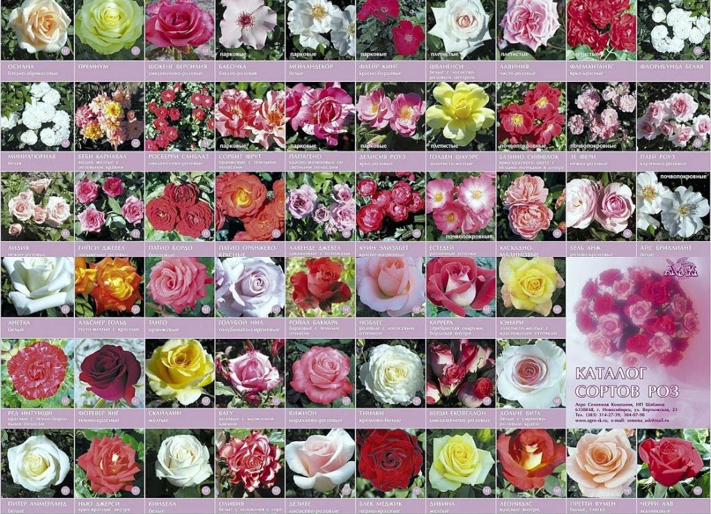 Сорт розы по алфавиту